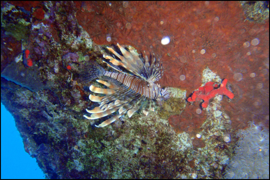 common lionfish - Indische koraalduivel