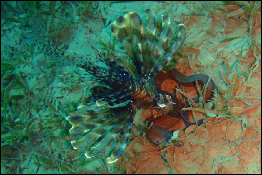 lionfish and moray - koraalduivel en murene