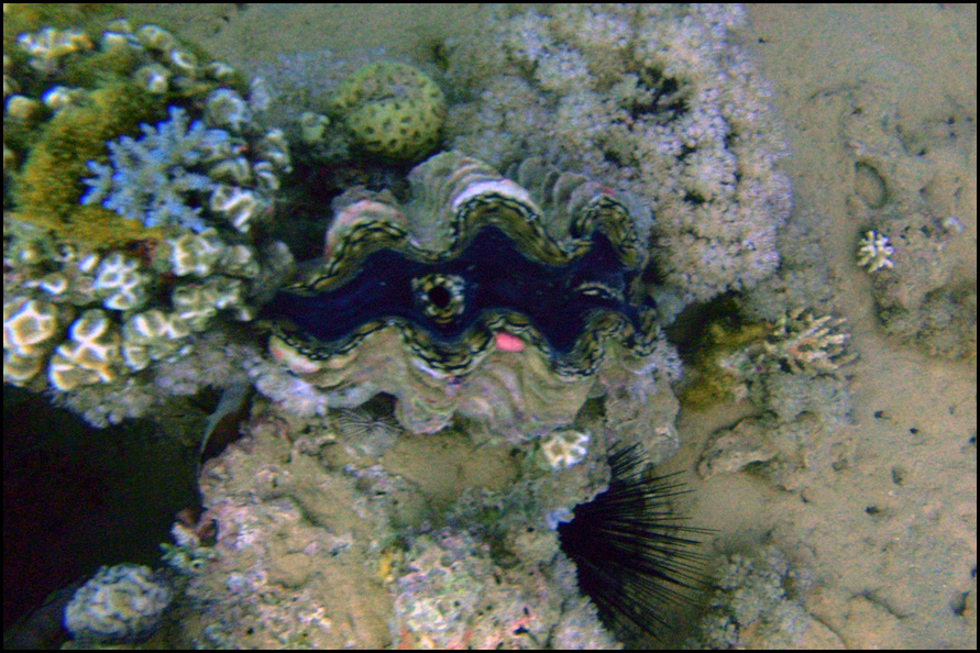 common giant clam - oester